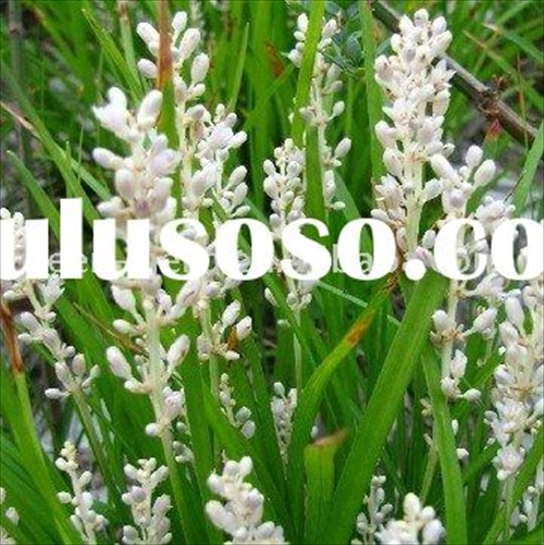 Dwarf_Lilyturf_Tuber_plant_extract_