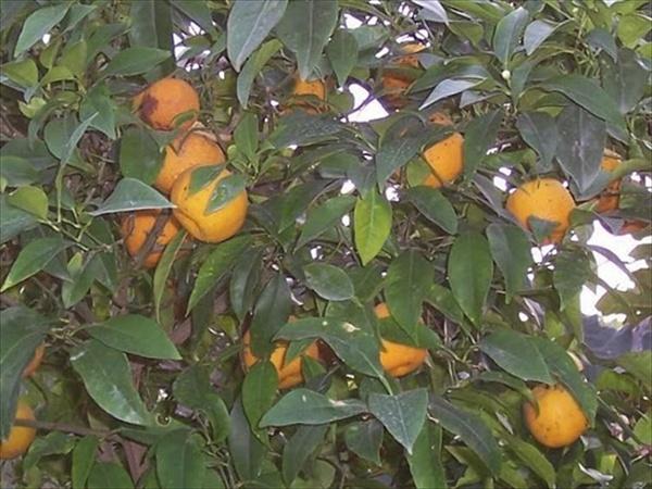 citrus_sinensis_1