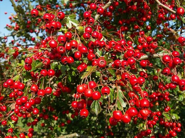 hawthron berries
