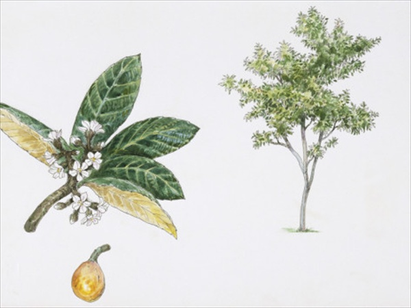 loquat-eriobotrya-japonica-plant-with-flower-leaf-and-fruit-illustration