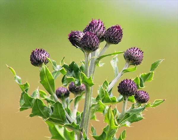 milk-thistle-side-effects-interactions-1.1-800x800