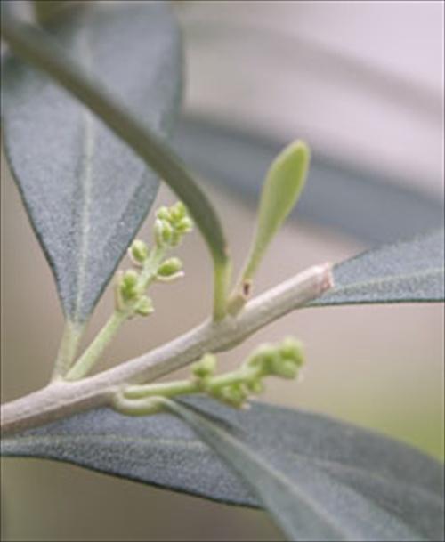 olive-leaf_d