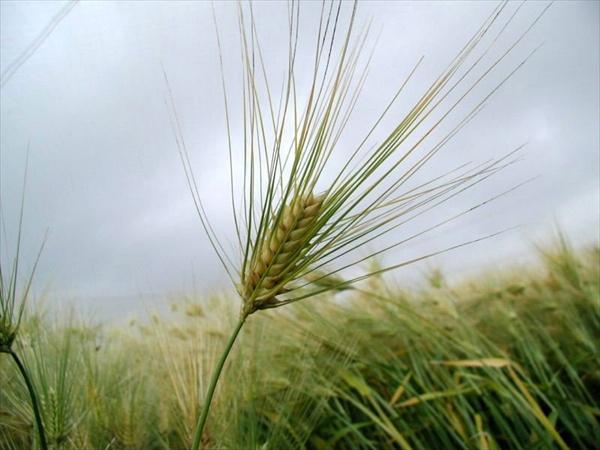 1_7_Germinated_Barley