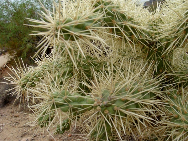 chain fruit cholla stems