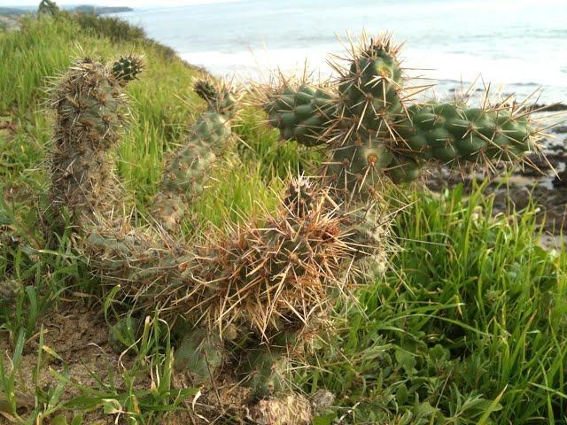 cylindropuntia_prolifera_coastal_cholla_overlooking_pacific_ocean